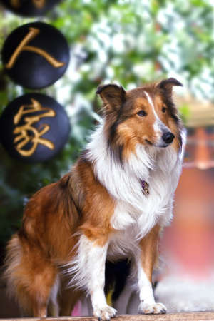 Cute  rough collie standing at the front yard door waiting Stock Photo