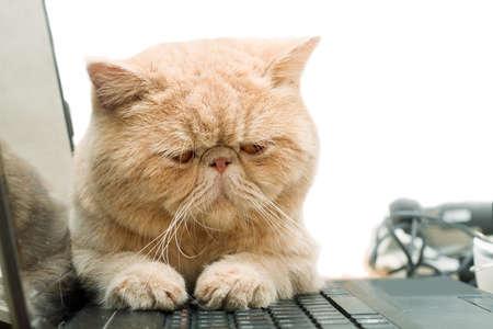 Küçük İngiliz EBM garfield kedi beyaz izole, dizüstü bilgisayar üzerinde oturan