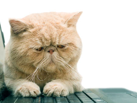 Little British CPA garfield cat sitting on laptop, isolated on white