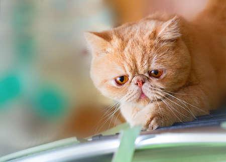 Cute British CPA garfield cat seriously scratching a chair