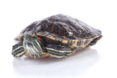 Turtle isolated on white background High resolution  photo