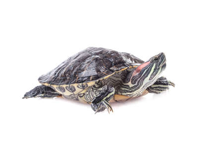 freshwater turtle: Turtle isolated on white background High resolution  Stock Photo