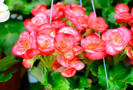 Hanging Basket with Impatiens flowers photo