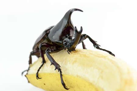 Beetle,Rhinoceros beetle, Rhino beetle, Hercules beetle, Unicorn beetle, Horn beetle (Dynastinae) photo