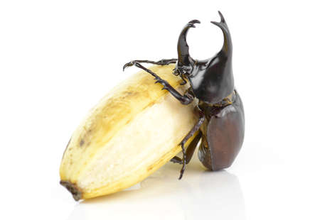 horn beetle: Beetle,Rhinoceros beetle, Rhino beetle, Hercules beetle, Unicorn beetle, Horn beetle (Dynastinae)