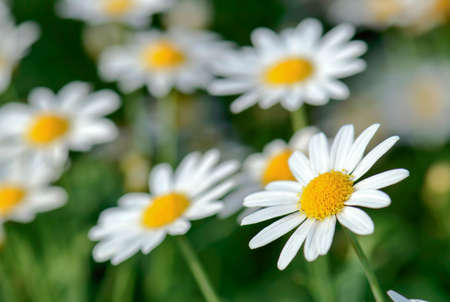 Chamomile flower photo