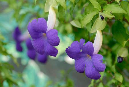 petunias: purple petunias Stock Photo