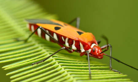 coitus: Close up of shield bug
