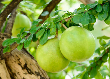 uncultivated: Calabash Tree and Fruit (wild calabash)