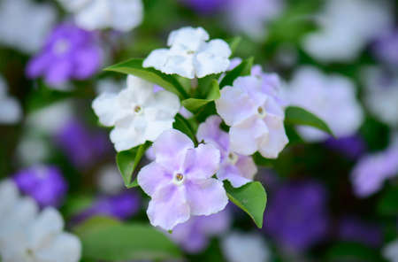 morning noon and night: Closeup of violet brunfelsia jasmine flower