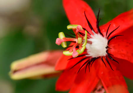 Close up of Passiflora Racemosa, Red Passion Fruit Flower