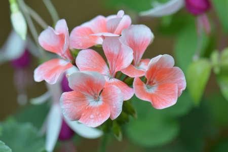 geranium color: Geranium flowers. Pink bi color geraniums in garden, , nature closeup soft focus background