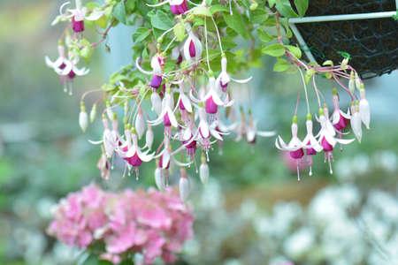 flores fucsia: Flores rosadas y púrpuras del fuchsia Foto de archivo