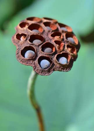 corbel: Dry lotus,lotus flower Stock Photo