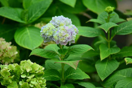hydrangea macrophylla: Mophead Hydrangea - Hydrangea macrophylla Stock Photo