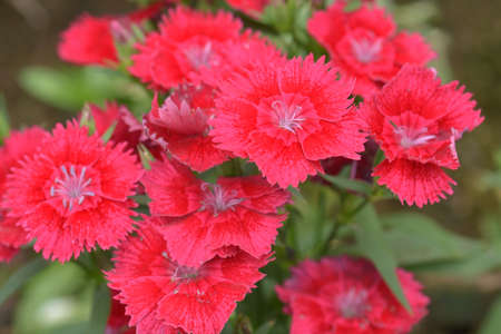 chinensis: Dianthus chinensis Stock Photo