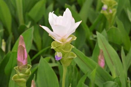 siam: Curcuma alismatifolia Siam tulip Stock Photo