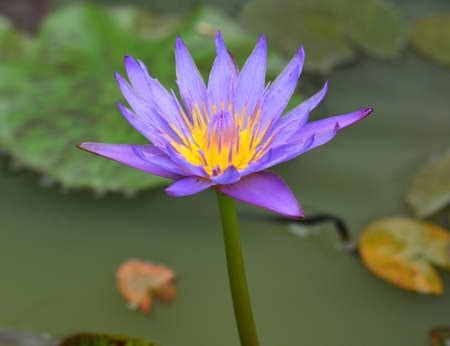 purple lotus: Purple lotus flower blooming