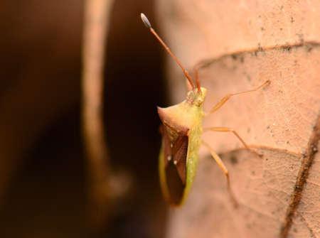 green shield bug: Macro Striped Shield Bug Or Stink Bug