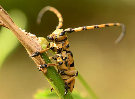 vermin: yellow insect horn beetle