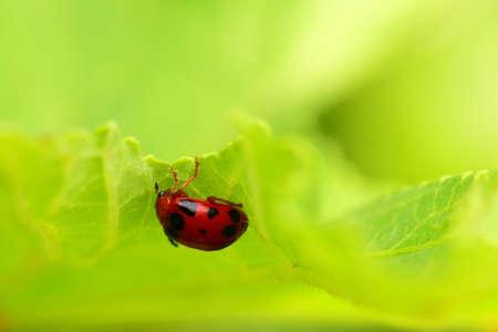 flower ladybug: ladybug on a green leaf macro