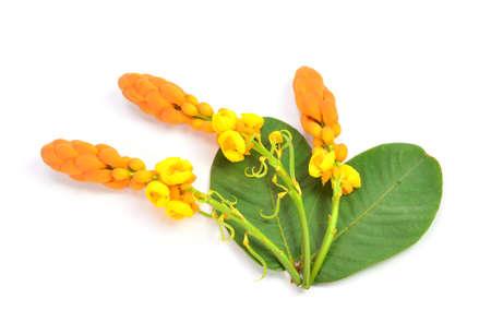 Yellow candle bush flower on white background Stockfoto