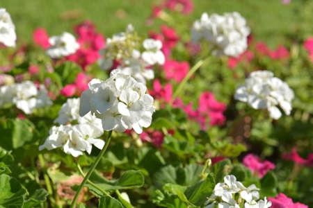 sublime: White Geranium Flowers in sun shine