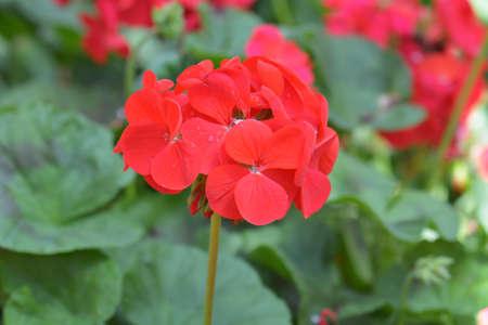 bicolor: Red bicolor geraniums in the garden