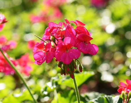 geranium color: Pink geraniums in the morning Stock Photo
