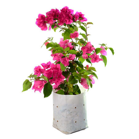 bougainvilleas: Bougainvilleas isolated on white background