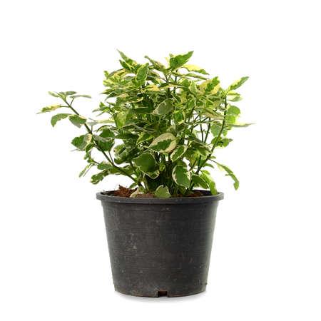 perfumed: Jasmine leaf spot in pot Stock Photo