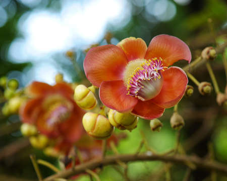 cannonball: Cannonball flower of Cannonball Tree with natural environment Stock Photo