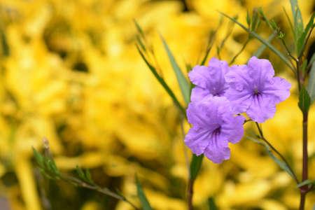 petunia wild: Ruellia flower Purple bloom (Ruellia tuberosa Linn. Waterkanon, Watrakanu, Feverroot, Popping pod)