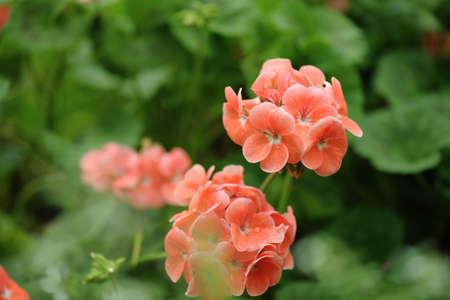 orange geranium in the garden