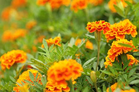 african marigold: Marigolds (Tagetes erecta, Mexican marigold, Aztec marigold, African marigold)