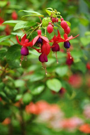 flores fucsia: flores fucsia púrpura hermosa rosa y