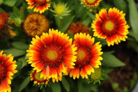 herbaceous: Gaillardia pulchella Foug, Blanket Flower
