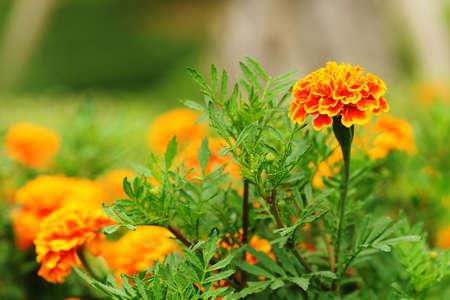 fresh gold marigolds flower in the garden