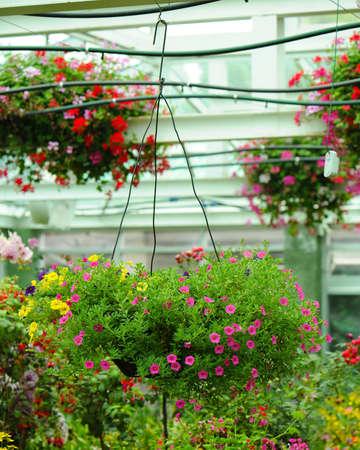 hanging flowers: Petunia Flowers In Hanging Flower Pot