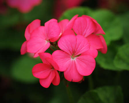 saturated: beautiful pink geraniums flower in nature Stock Photo