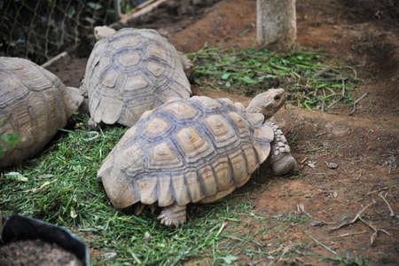 land turtle: turtle