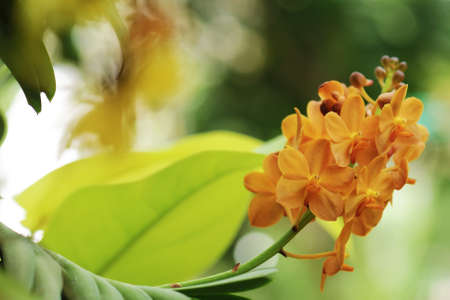 cattleya: Beautiful orchid flowers with soft focus and blur background
