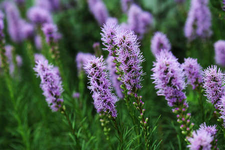 eudicots: Liatris is a genus of ornamental plants in the Asteraceae family Stock Photo