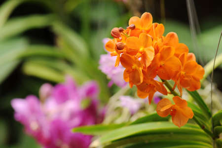 cattleya: Beautiful orchid flowers and blur background