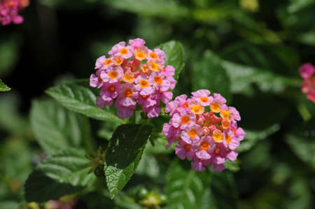 lantana camara: Close up of Lantana Camara flower