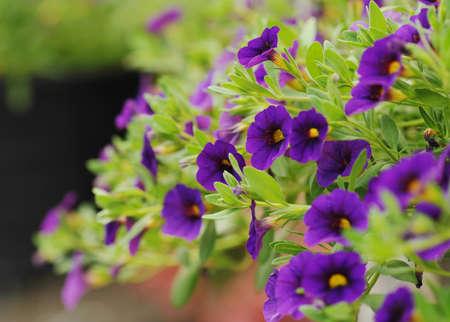 MILLION: Purple Calibrachoa (Million Bells) flowers