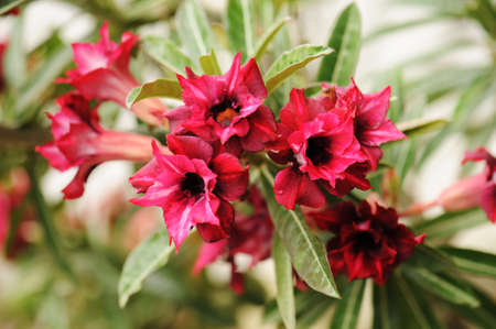 mock azalea: Pink Desert Rose or Impala Lily or Mock Azalea flower