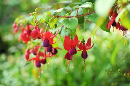 flores fucsia: Colgando flores fucsia en tonos de rosa