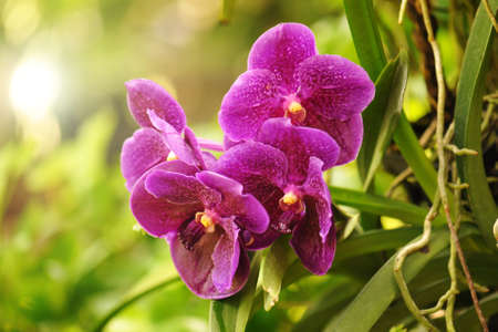 Closeup of Beautiful Purple orchid flower Stock Photo