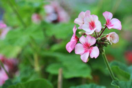 bicolor: geranium flowers